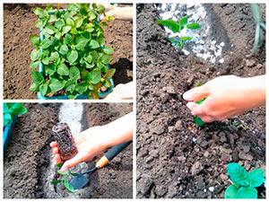 Посадка рассады картофеля в грунт