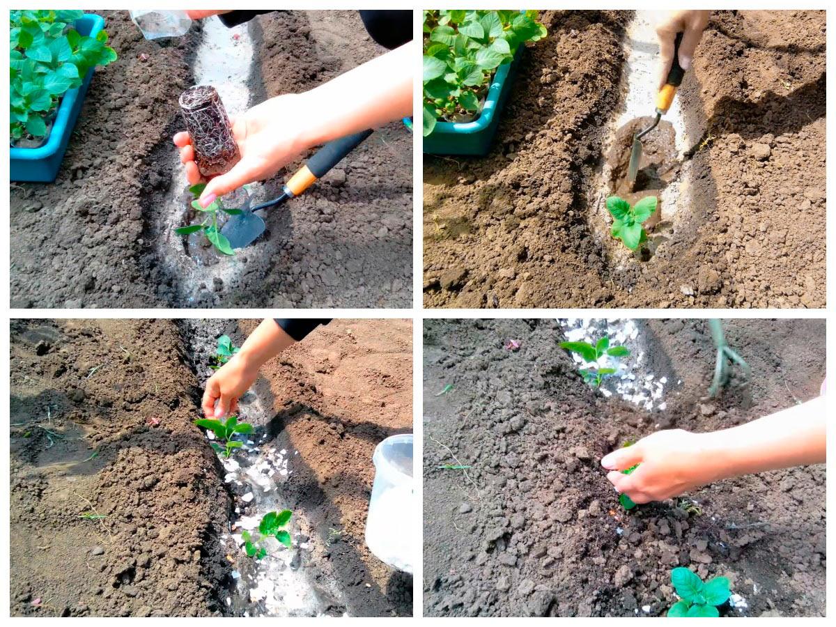 Высадка рассады картофеля на огород