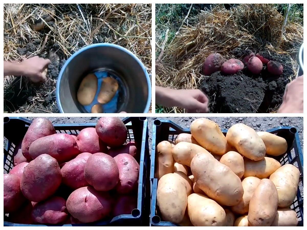 Ведро картофеля с куста