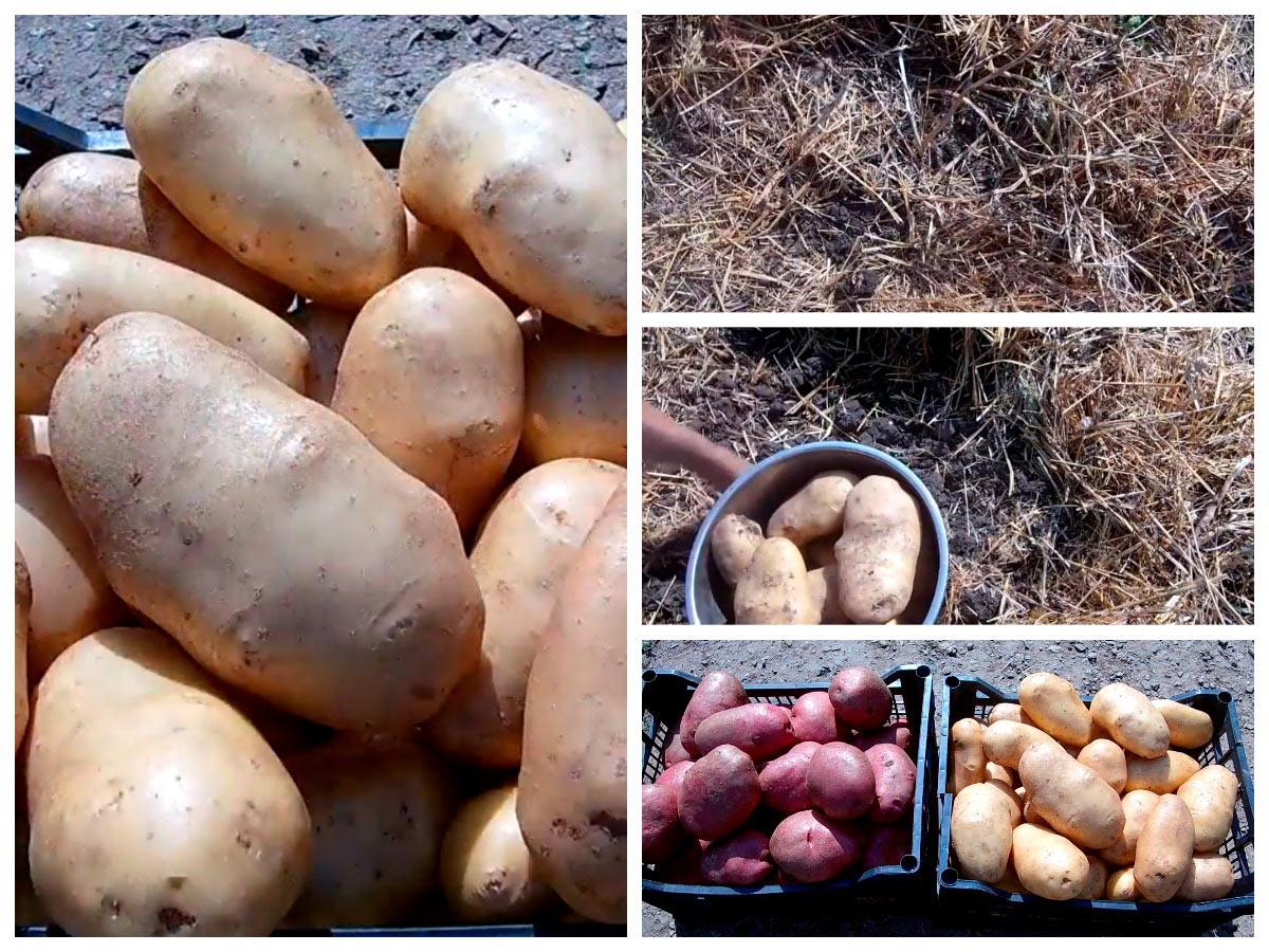 Выращиваем крупный картофель