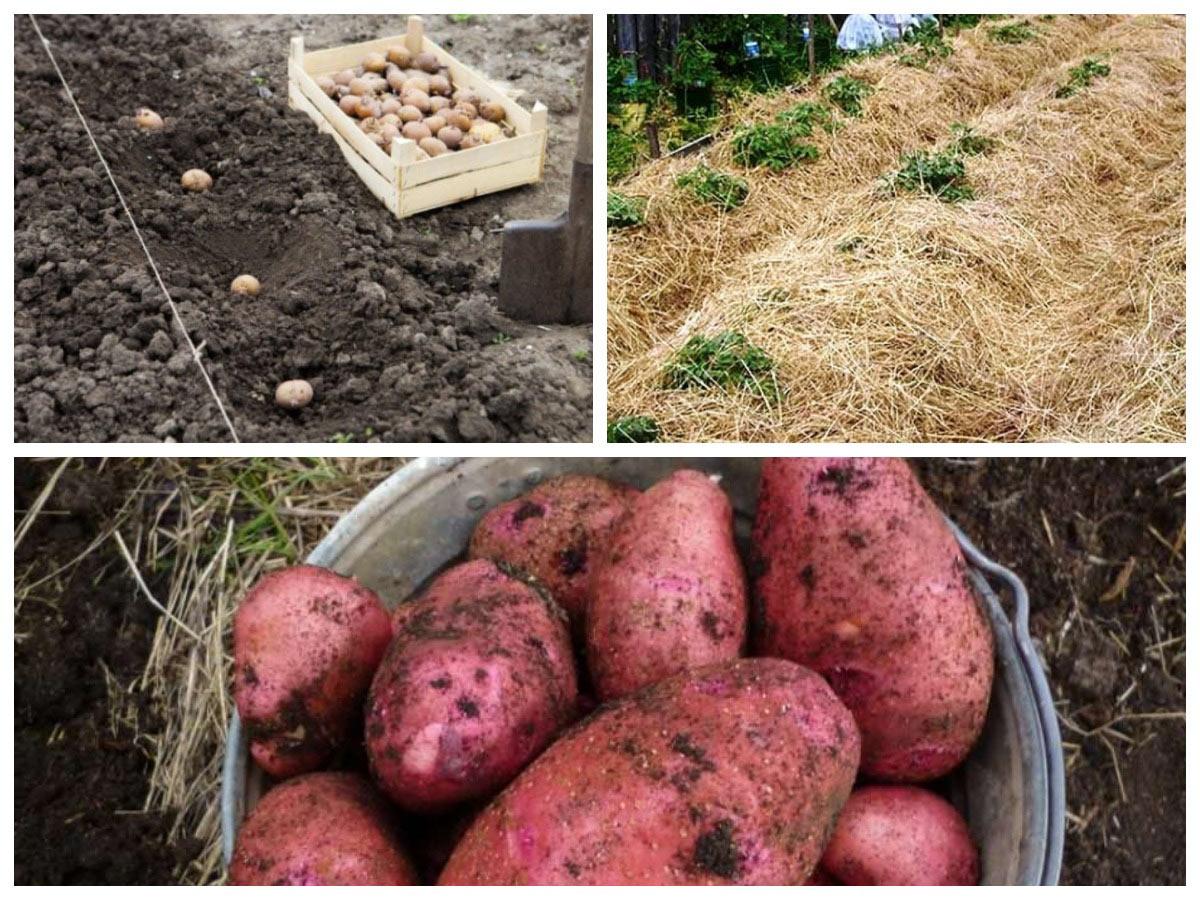 Выращивание крупного картофеля