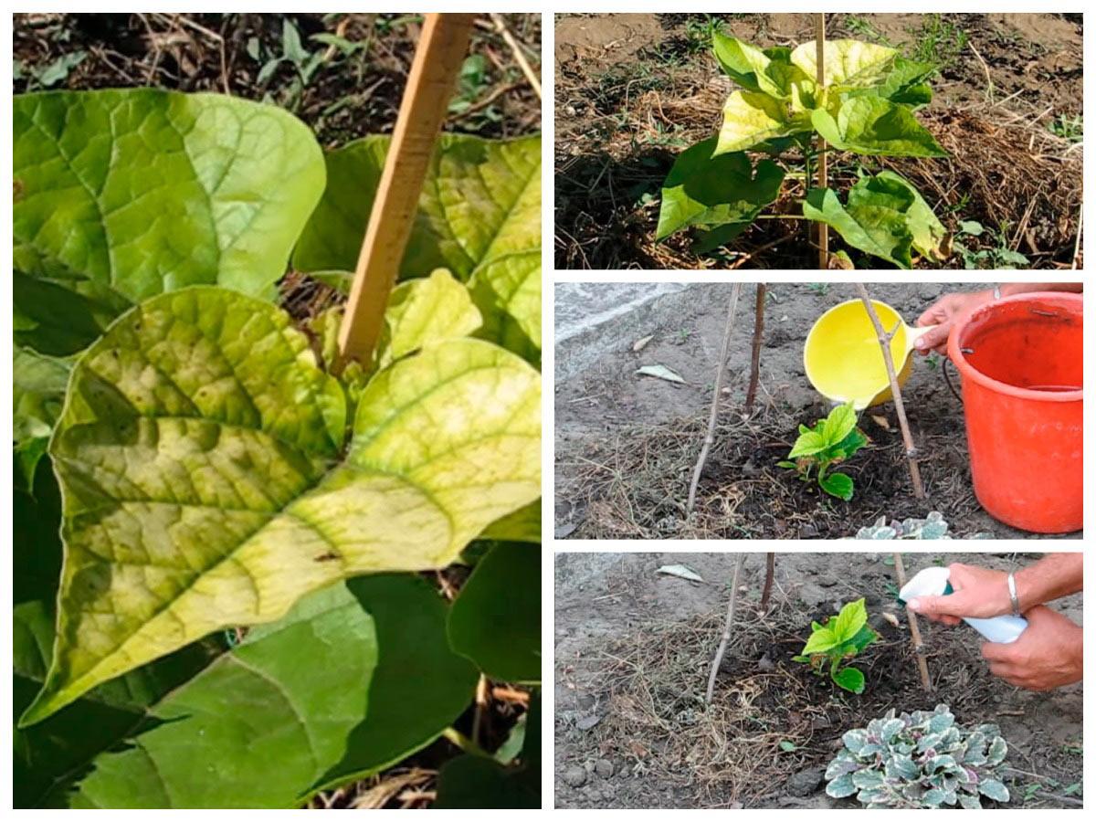 Листья растений желтеют из-за хлороза