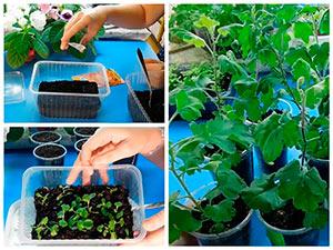 Выращивание рассады хризантемы