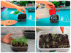 Выращивание рассады кохии