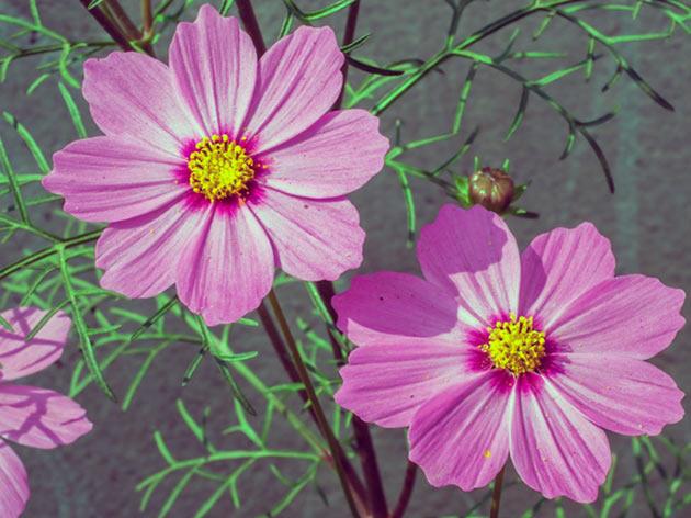 квітка космея
