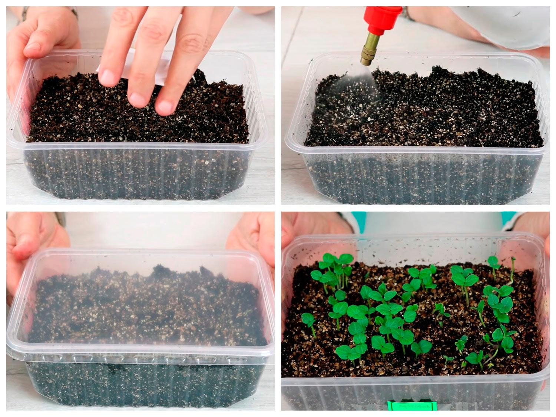 Выращивание рассады лаватеры