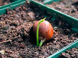 Выращивание малины в горшке