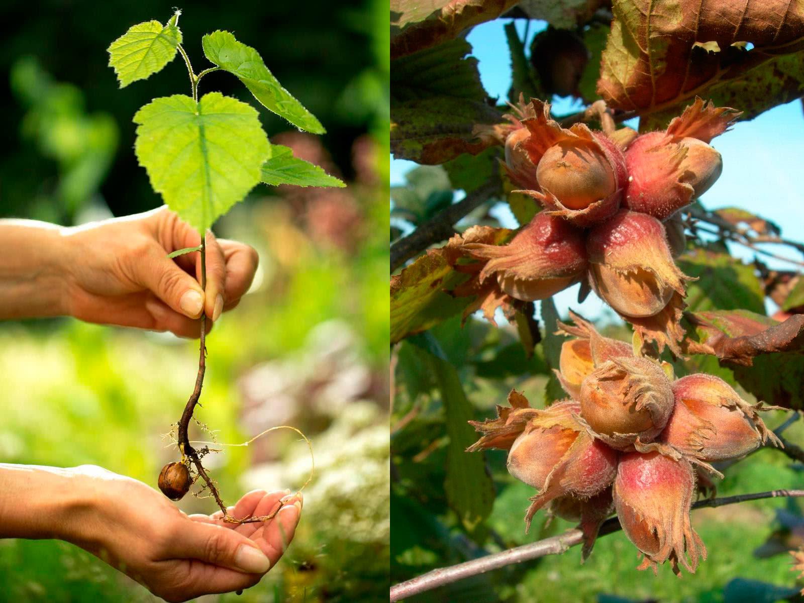 Саженец лещины из ореха и урожай лещины