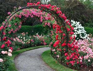 10 цветущих лиан для арок и беседок
