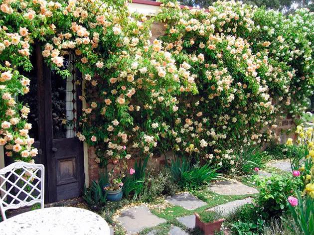 Цветение плетистых роз