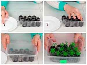 Посев лобелии в торфяные таблетки