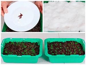 Посев лобелии на рассаду