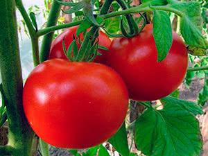 Кращі сорти помідорів для відкритого ґрунту
