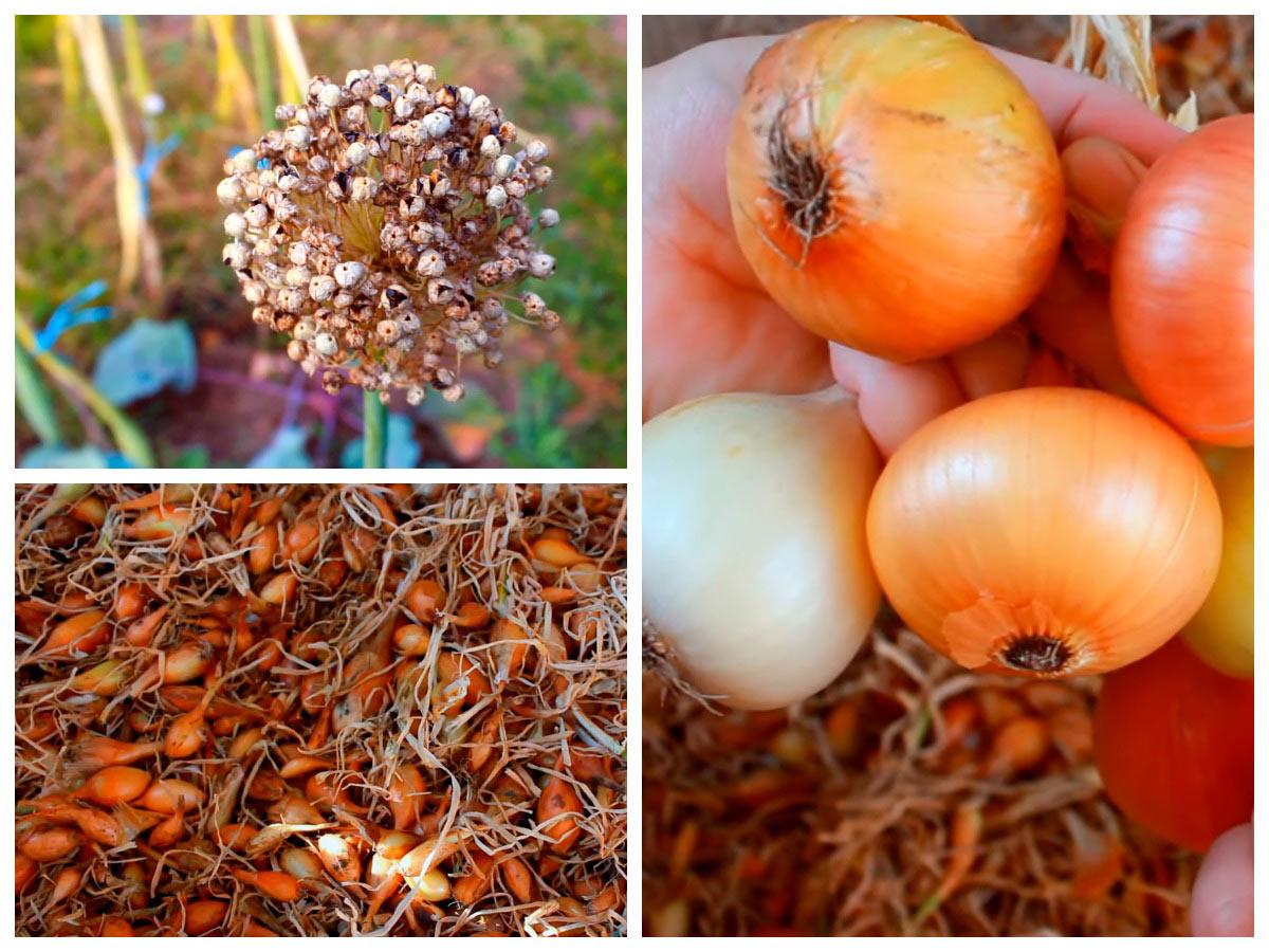 Лук от семян до луковицы