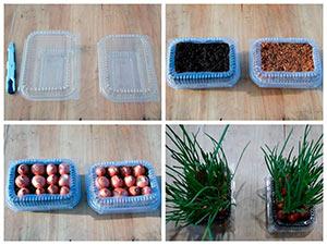 Выращивание лука на окне