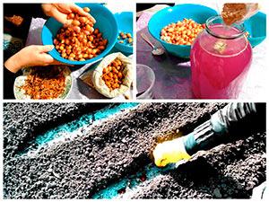 Обработка и посадка лука в грунт