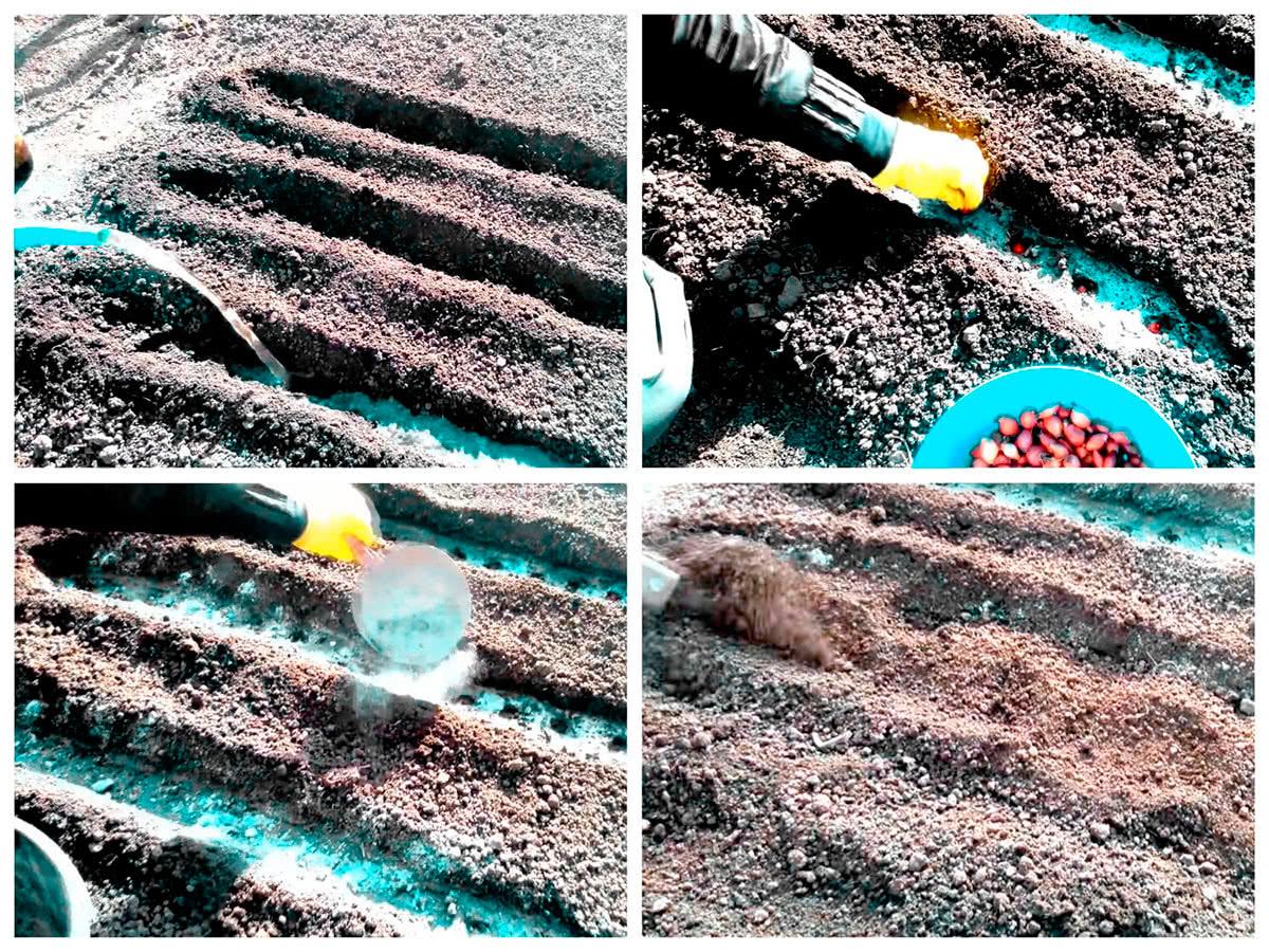 Посадка лука в открытый грунт