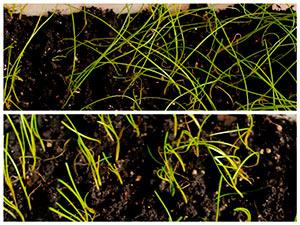 Уход за рассадой лука в домашних условиях