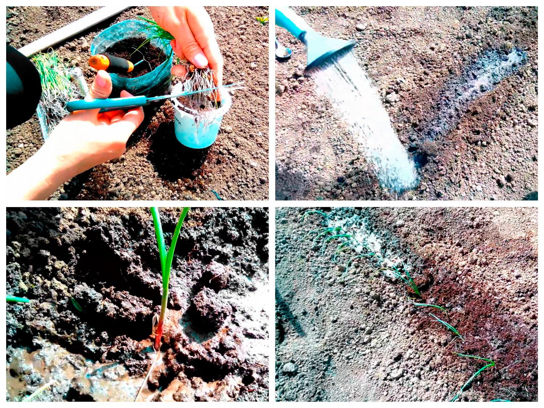 Высадка рассады лука в грунт