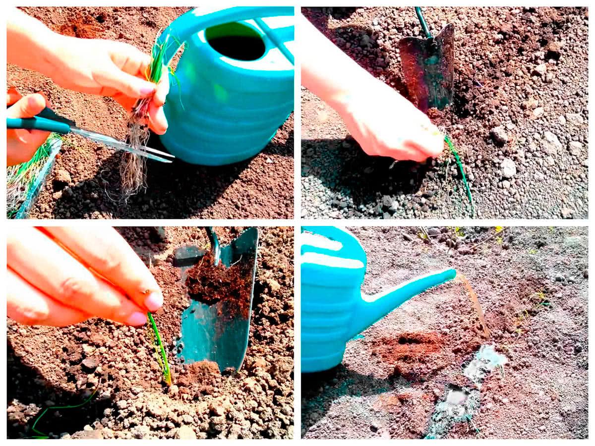 Как высаживать рассаду лука в грунт