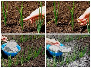 Уход за луком на огороде