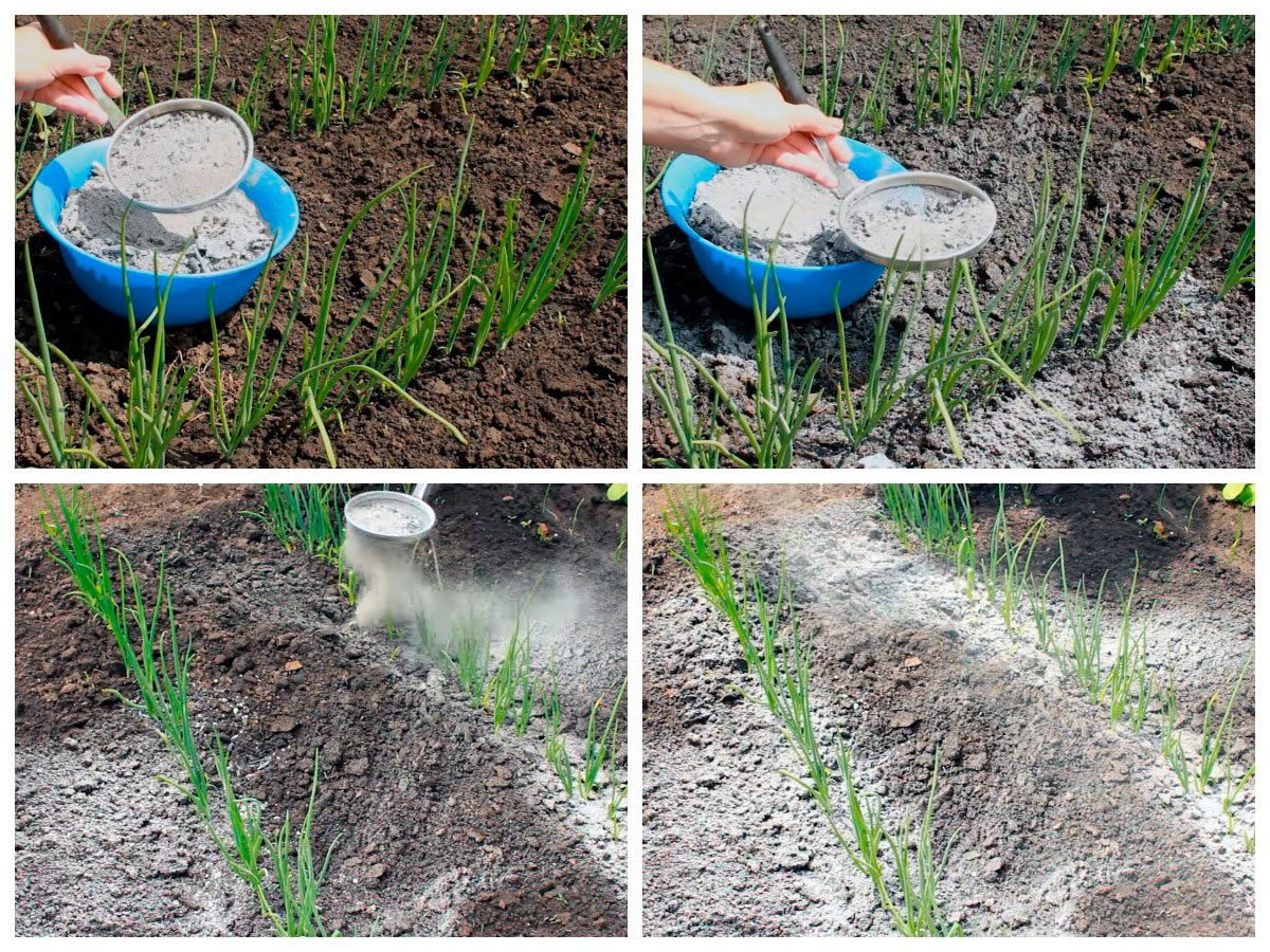 Удобрение лука в начале роста