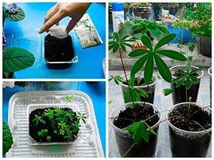 Выращивание рассады люпина