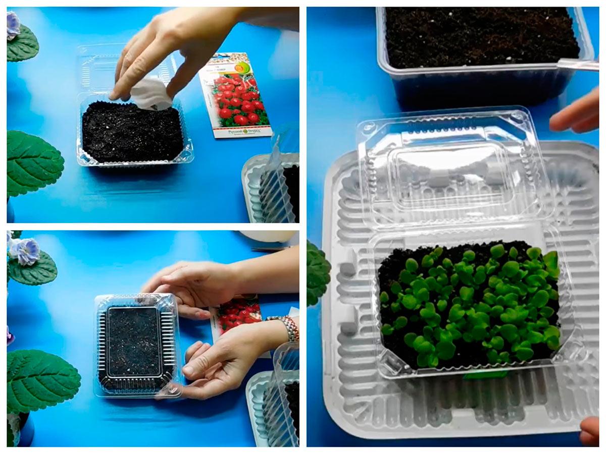 Выращивание рассады маргаритки