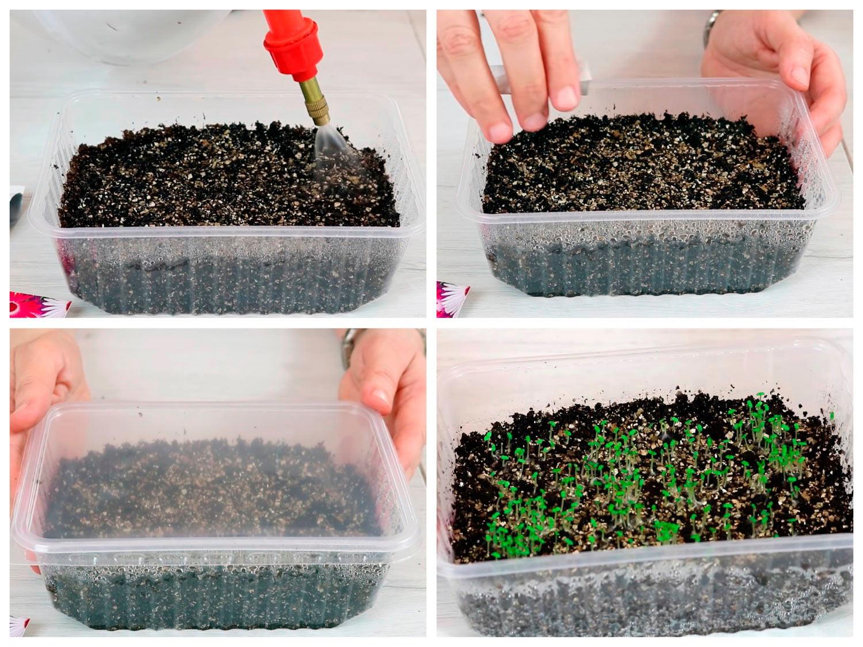 Посев семян мезембриантемума