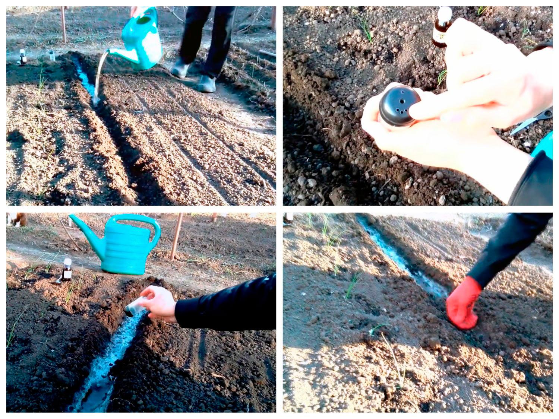 Способ посева моркови рядом с луком