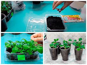Выращивание рассады наперстянки