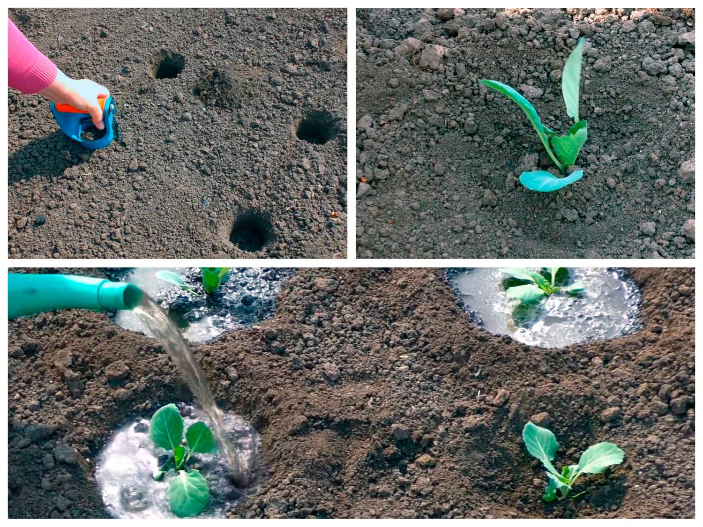 Высадка рассады капусты на грядку