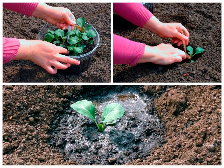 Посадка рассады капусты в грунт