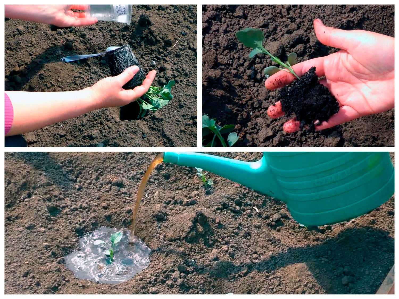 Посадка рассады брокколи в грунт