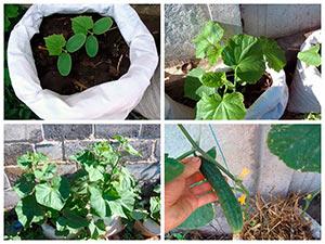 Выращиваем огурцы в мешках