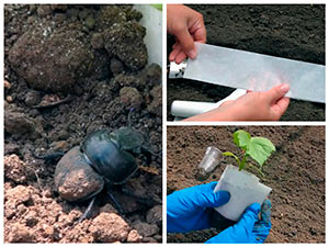 Высадка рассады огурцов в грунт