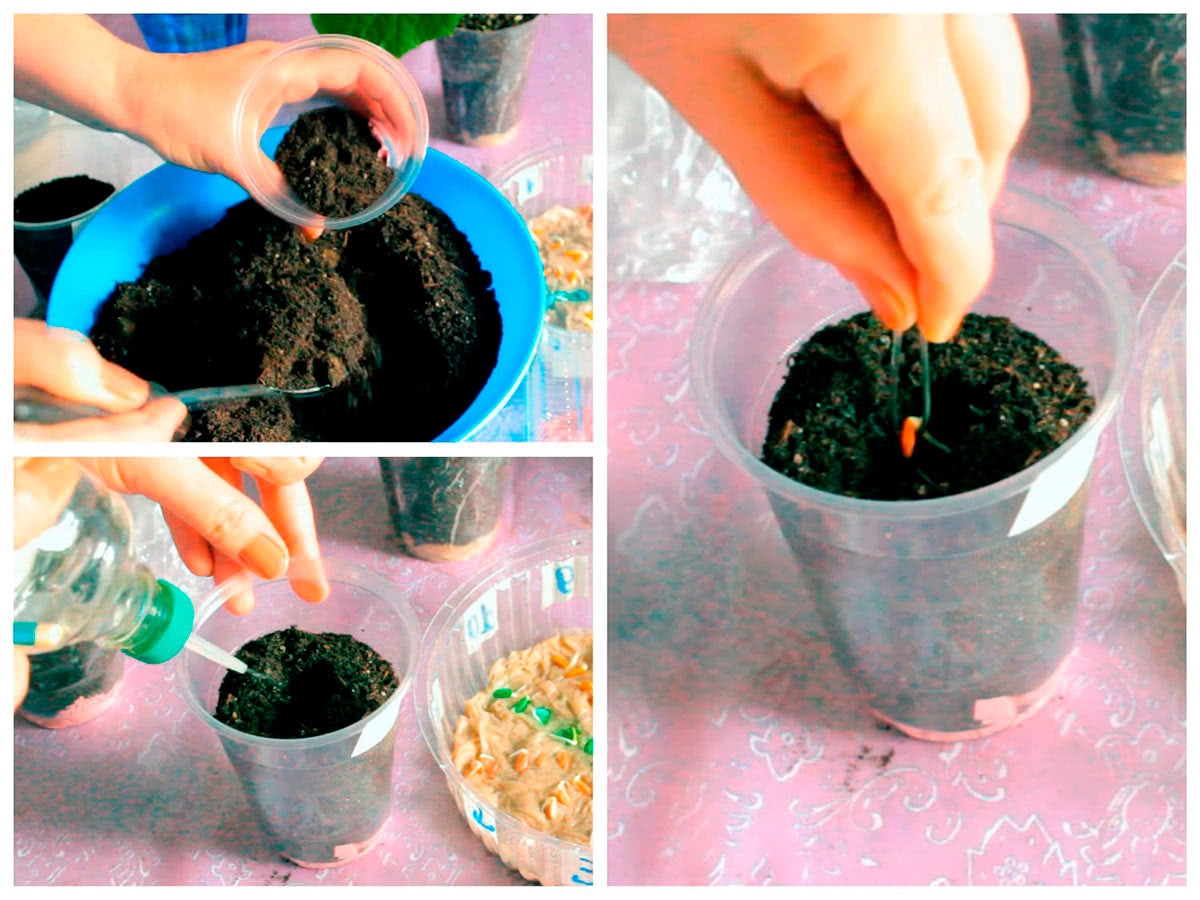 Посев пророщенных огурцов в пластиковые стаканчики