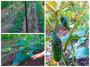 Выращивание огурцов вертикальным способом