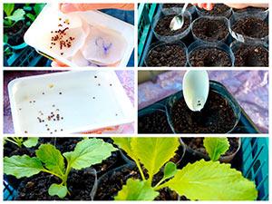 Выращивание рассады пекинки