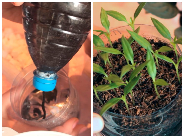 Выращивание рассады перца с фитильным поливом