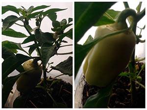 Выращиваем перец на окне