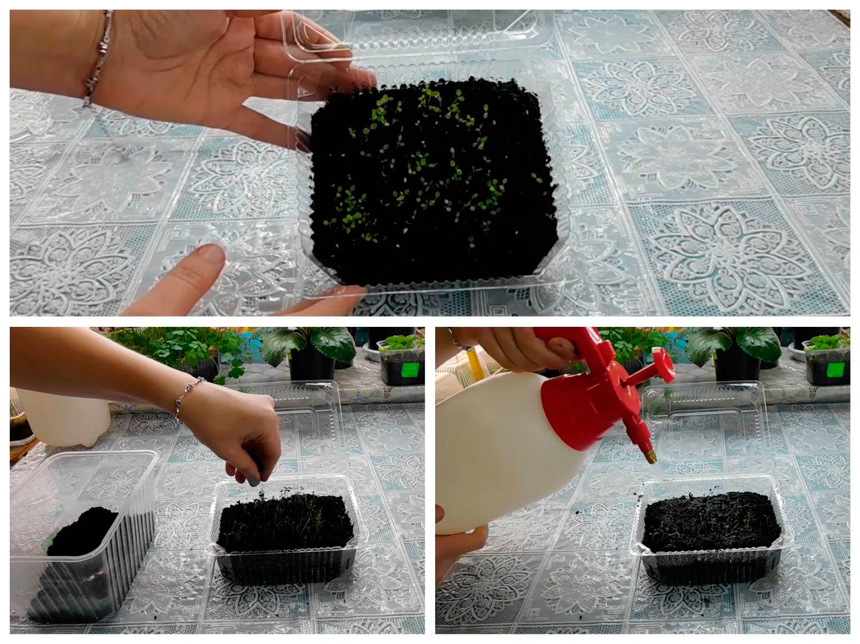 Подсыпаем рассаде петунии грунт