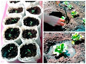 Высадка рассады петунии в грунт