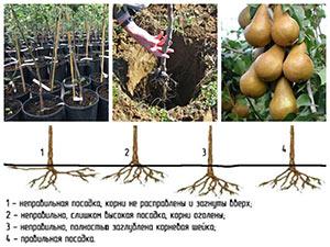 Выращивание груши