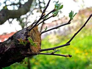 Сроки и способы прививки плодовых деревьев