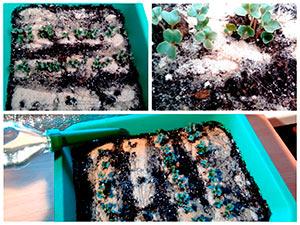 Условия для роста рассады капусты