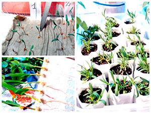 Выращивание рассады по-москоски