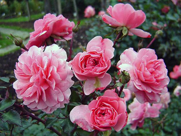 Посадка і догляд за трояндою Флорібунда