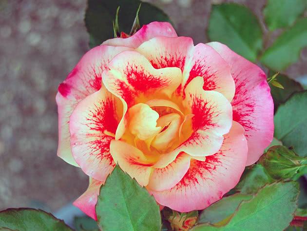Троянда Флорібунда Ейрбраш