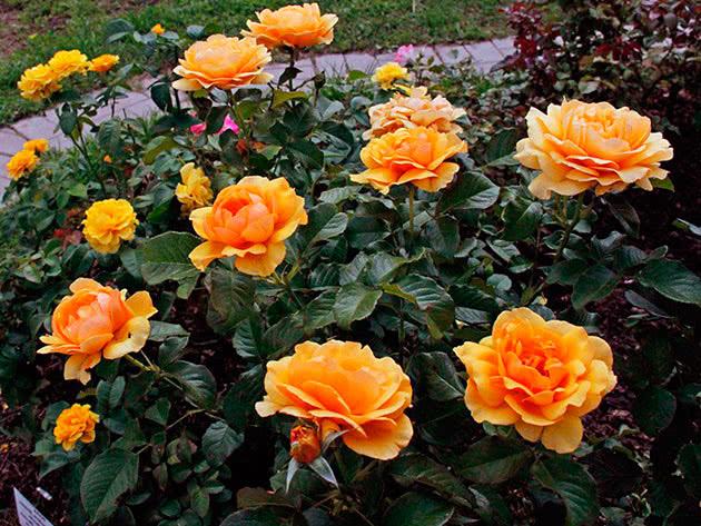 Троянда Флорібунда Амбер Квін